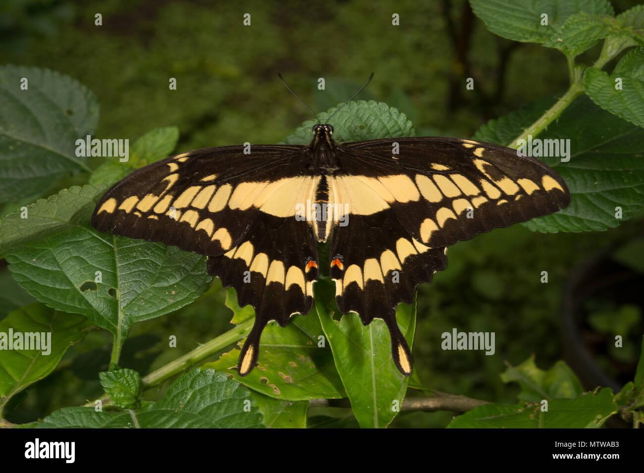 Giant Swallowtail, Heraclides cresphontes,  Papilionidae, Costa Rica - Stock Image