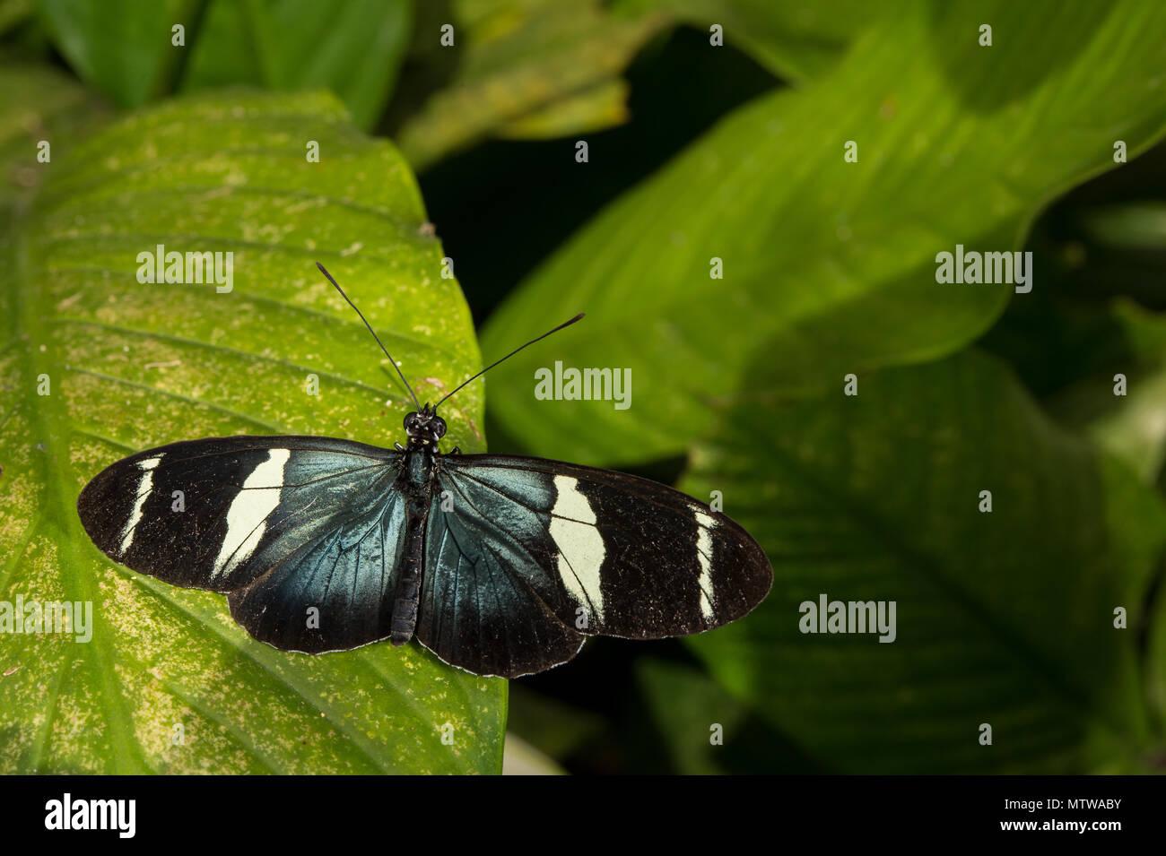 Sapho Longwing, Heliconius sapho, Nymphalidae, Costa Rica - Stock Image
