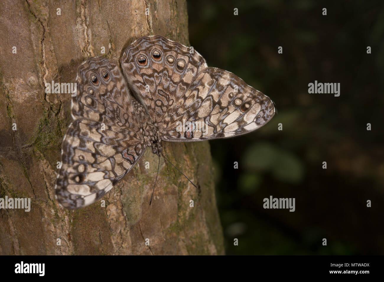 Gray Cracker, Hamadryas februa, Nymphalidae, Costa Rica - Stock Image