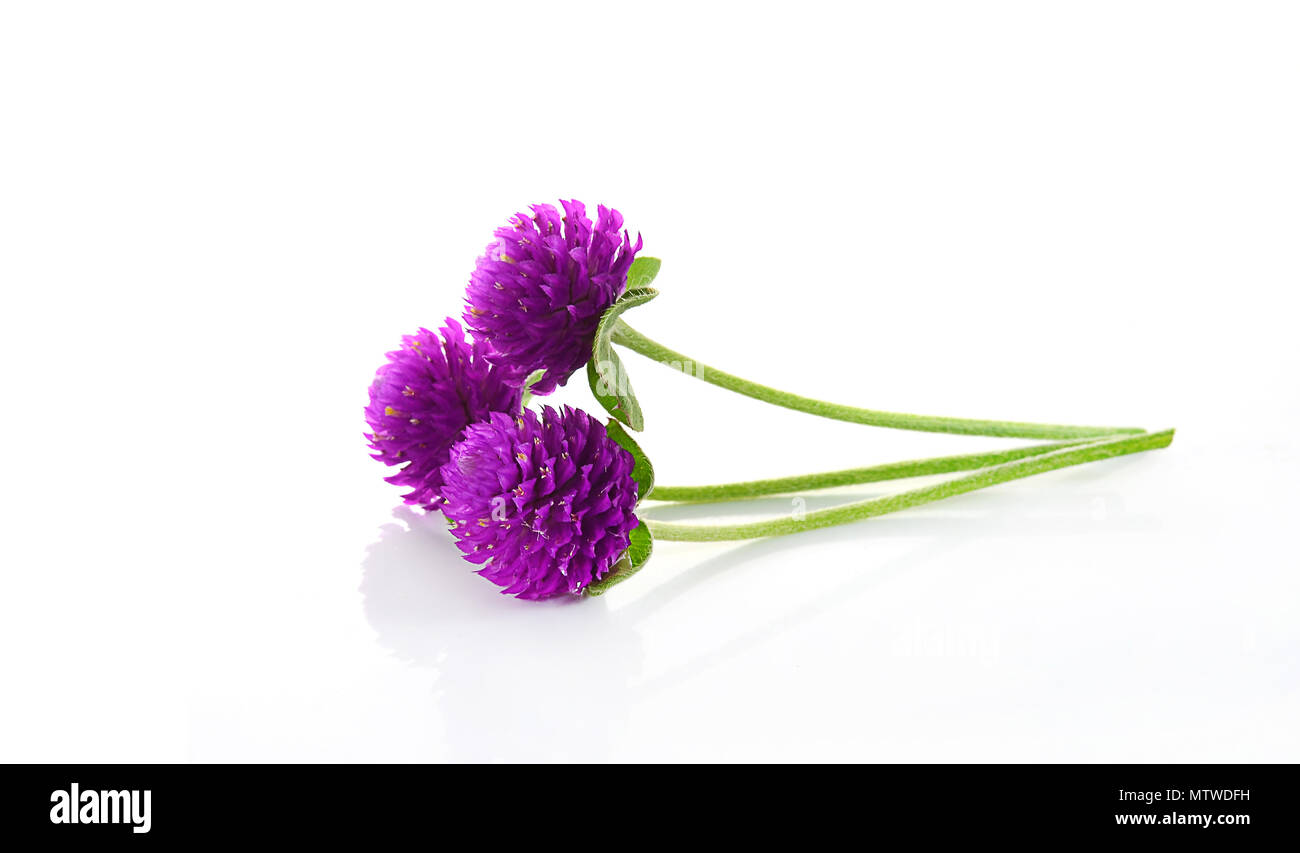 Globe Amaranth Beauty Flower In White Background Stock Photo