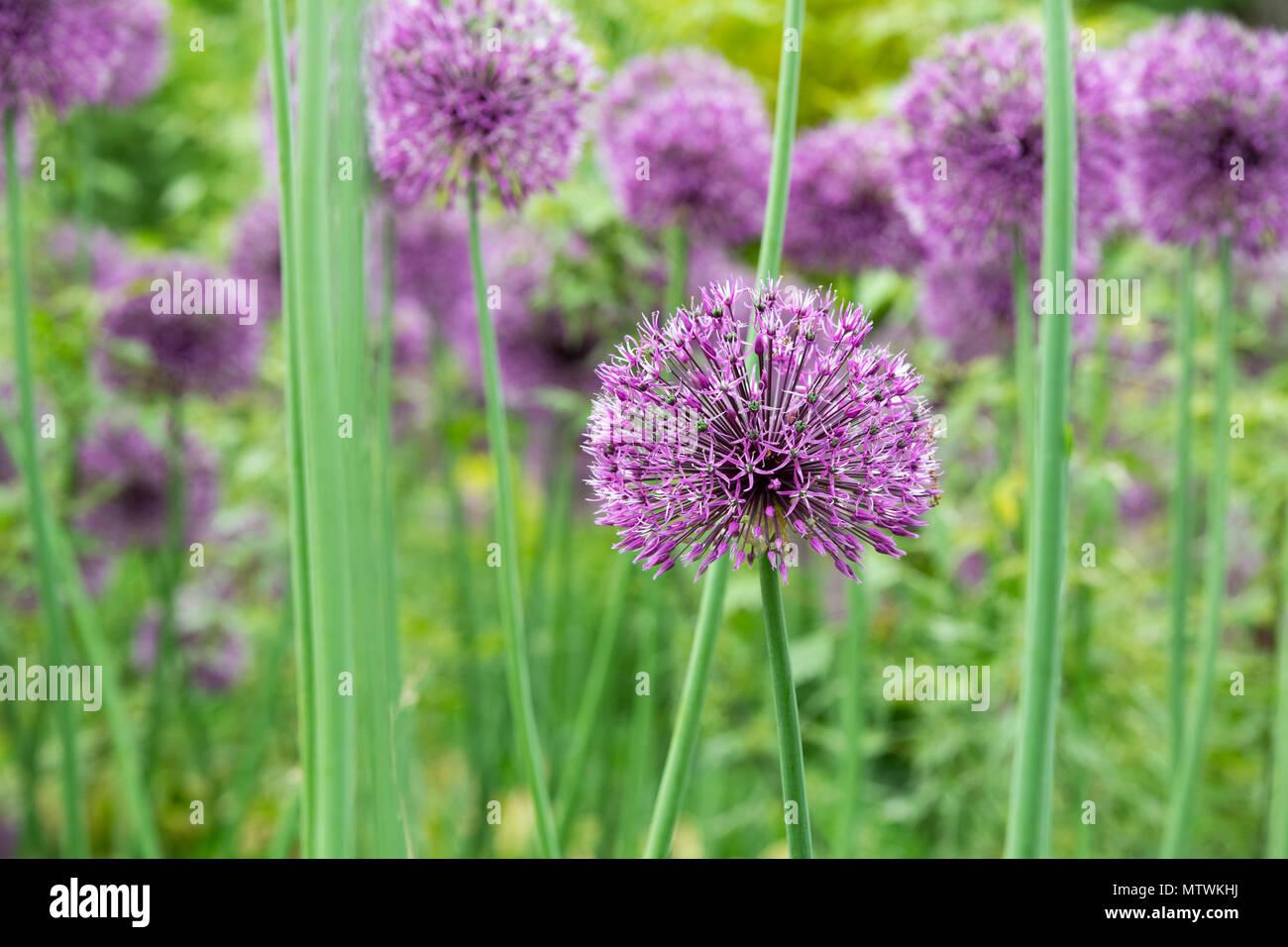 Allium Jesdianum Early Emperor Ornamental Onion Flowers In Spring