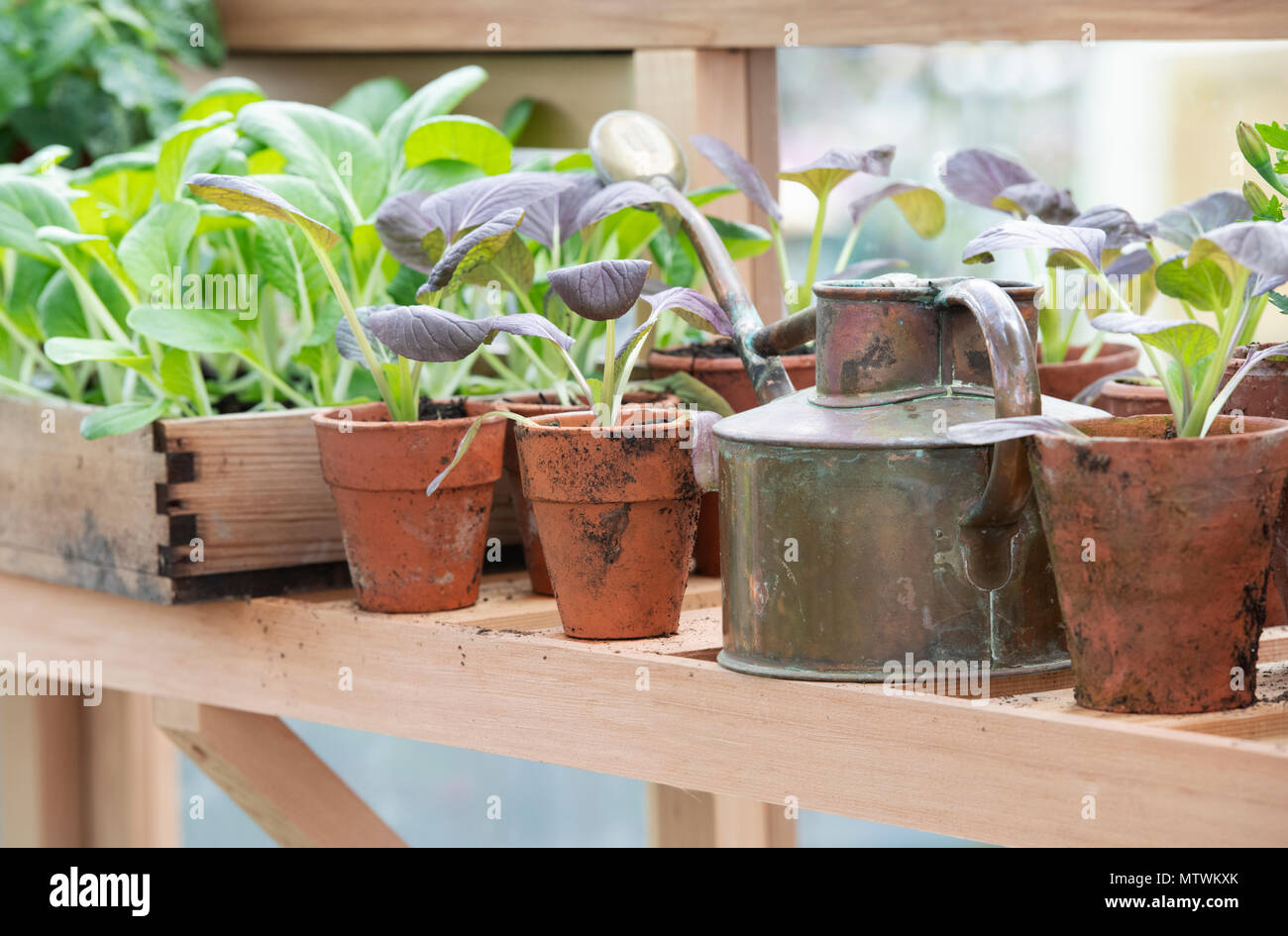 Potted plants and an old watering can inside a greenhouse in spring. UK - Stock Image