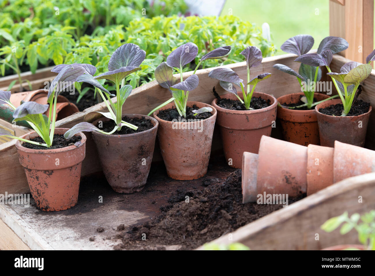 Potting up young plants in a greenhouse in spring. UK - Stock Image