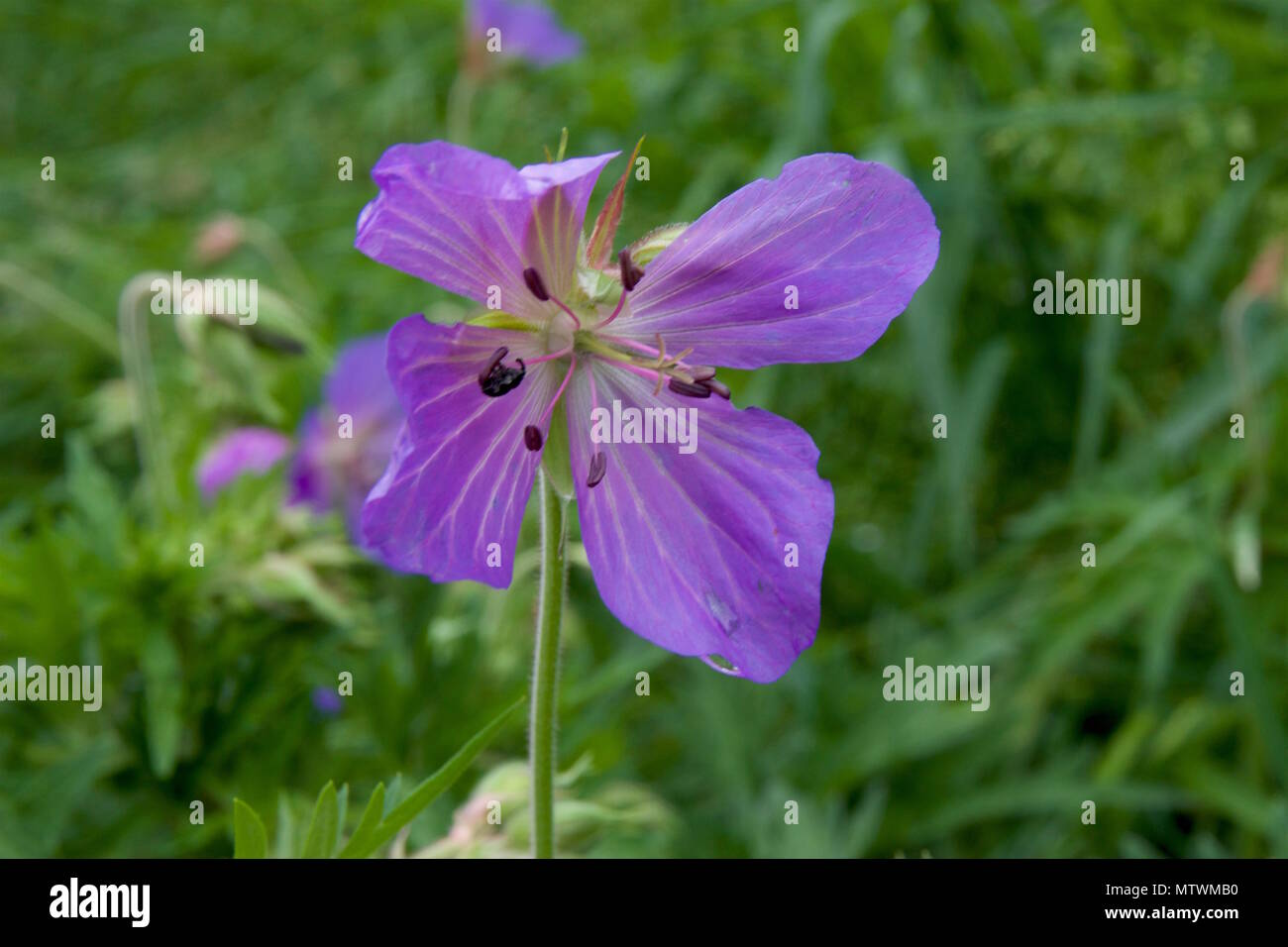 Geranium pratense, also known as meadow cranesbill or meadow geranium, is a species of flowering plant in the family Geraniaceae - Stock Image