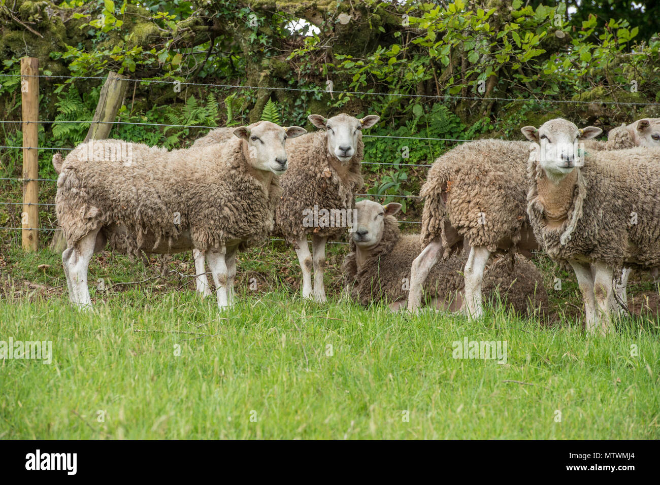 flock of sheep - Stock Image