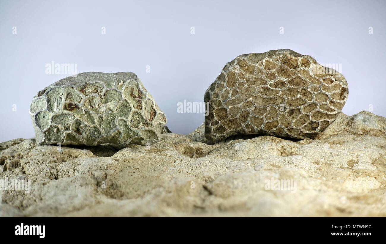 Coral fossil from Saarenmaa Estonia.  This is an extinct chain coral species from the Ordovician period. - Stock Image