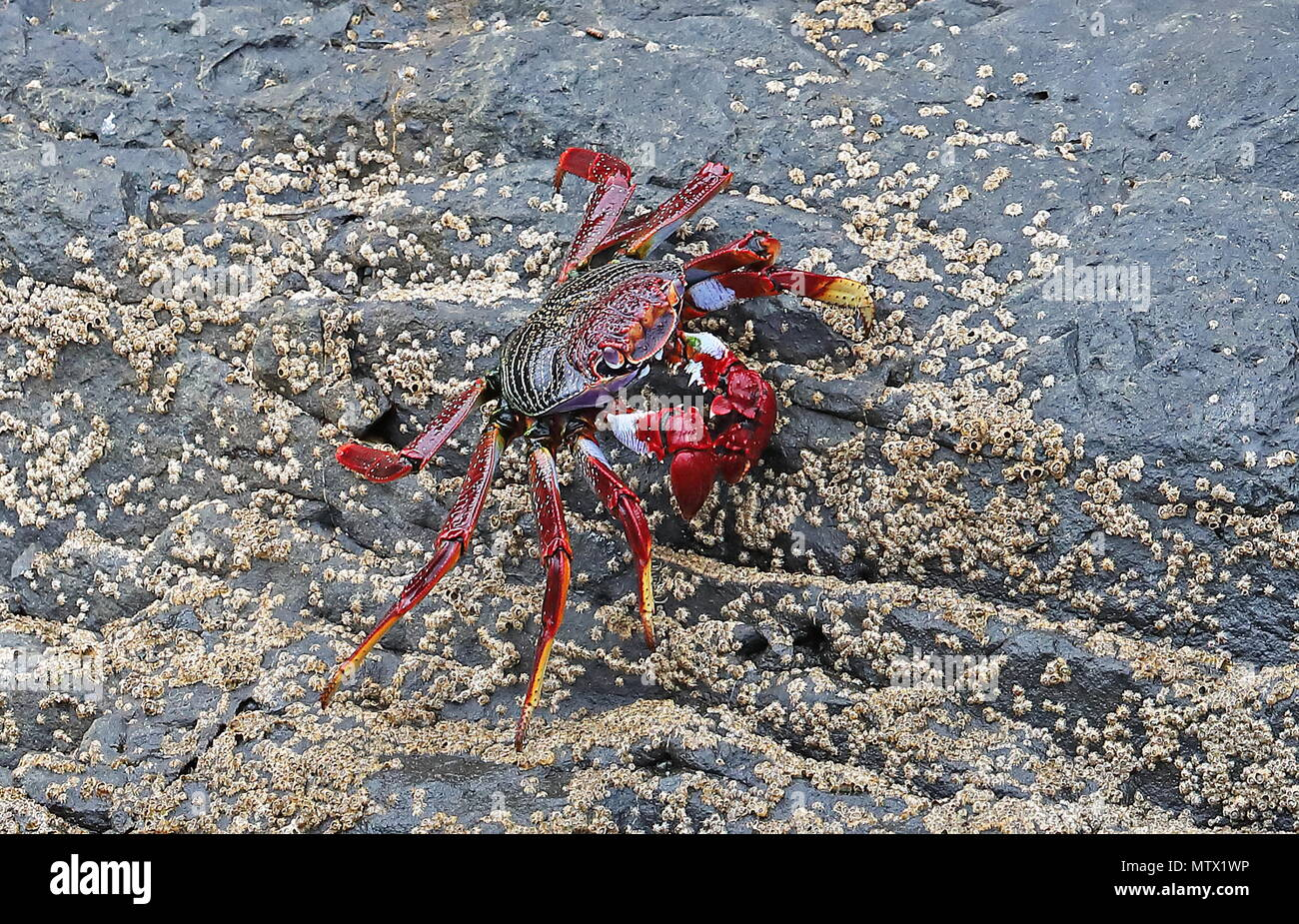 Atlantic Rock Crab (Grapsus adscensionis) adult on rock  Desertas Islands, Madeira, Portugal                 May - Stock Image