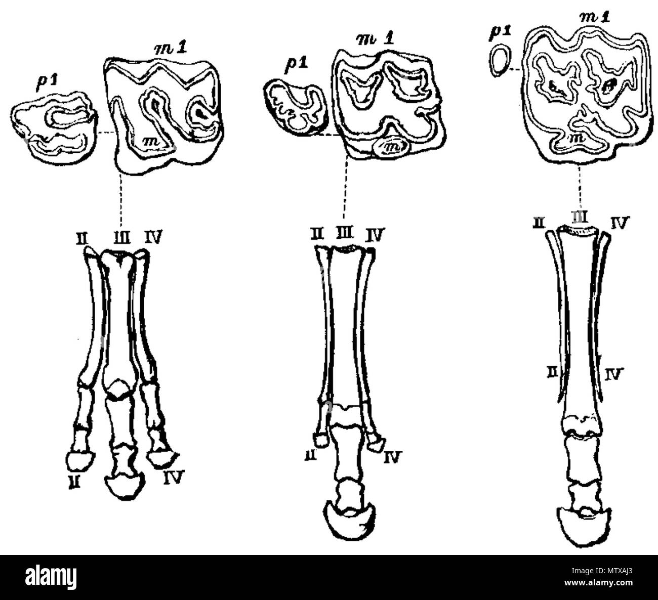 Horse Bones Cut Out Stock Images Pictures Alamy