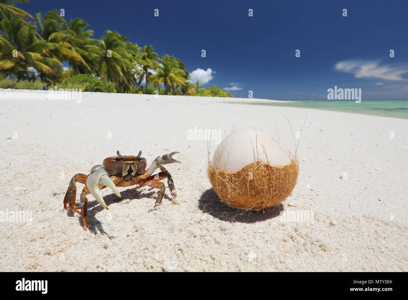 Crab and coconut on pristine white sandy beach, Christmas Island ...