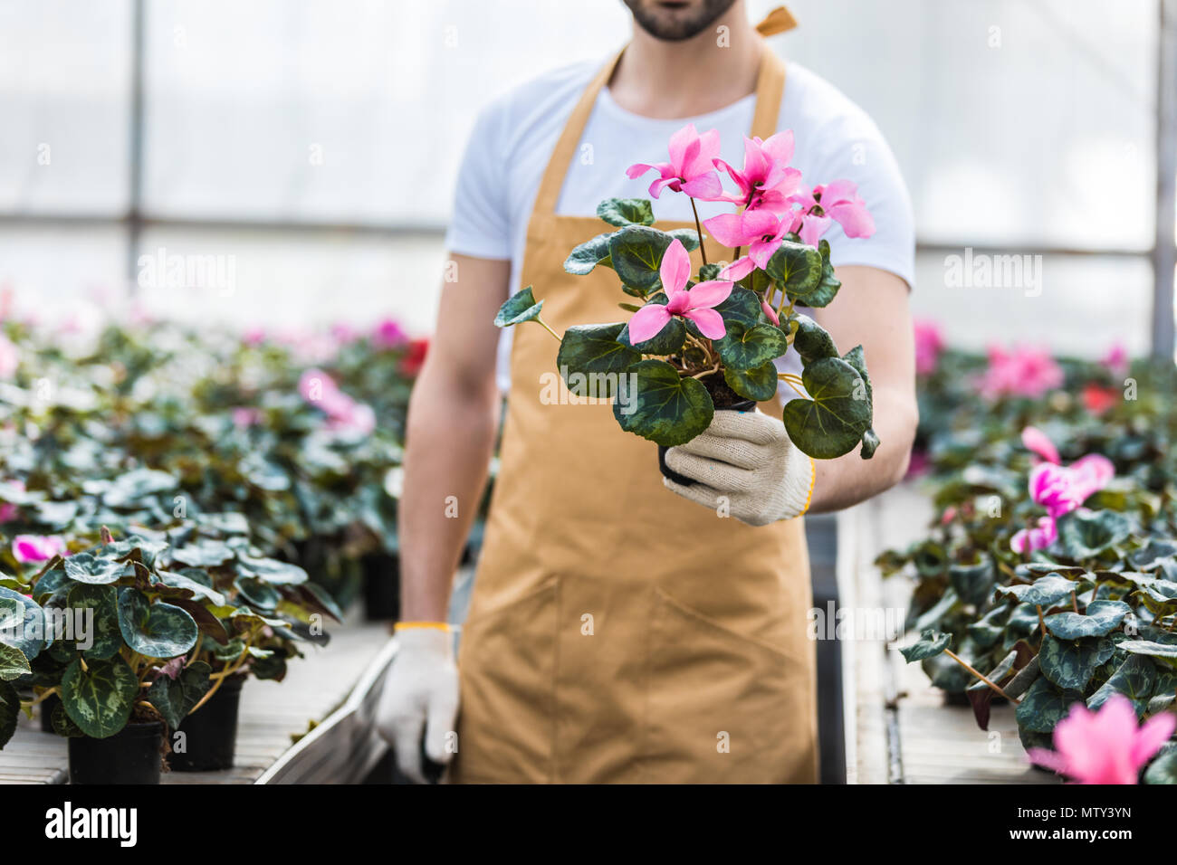 Close-up view of pot with Cyclamen flowers in male hands - Stock Image