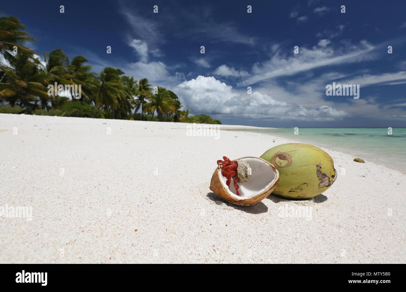 Strawberry hermit crab and coconuts on pristine white sandy beach ...