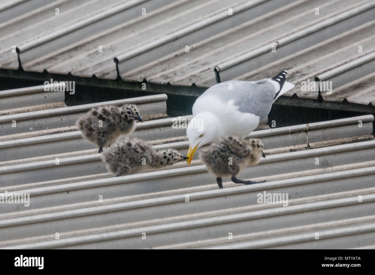 Forty Lane, Wembley Park, UK. 31st May 2018. Recently hatched Common Gull (Seagull) chicks on urban supermarket roof.  Common Gulls previously nested on sea cliffs in order to be close to their food supply, hence being frequently referred to as Seagulls. They now nest on urban roofs to take advantage of the waste we produce at landfill sites. Credit: amanda rose/Alamy Live News - Stock Image