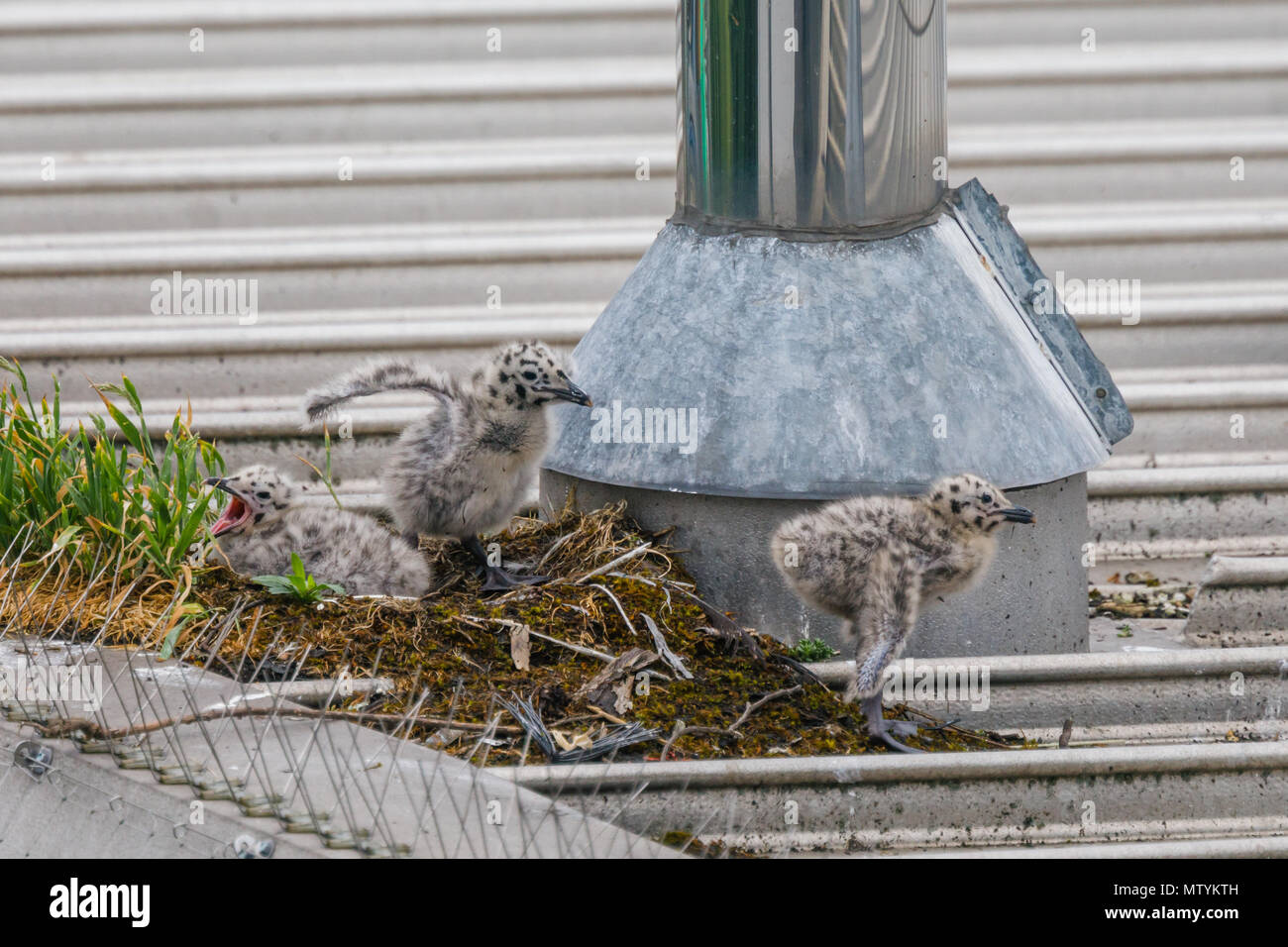 Forty Lane, Wembley Park, UK. 31st May 2018. Recently hatched Common Gull (Seagull) chicks on urban supermarket roof.  3 hungry Larus canus chicks head out their nest in search of breakfast. Credit: amanda rose/Alamy Live News - Stock Image
