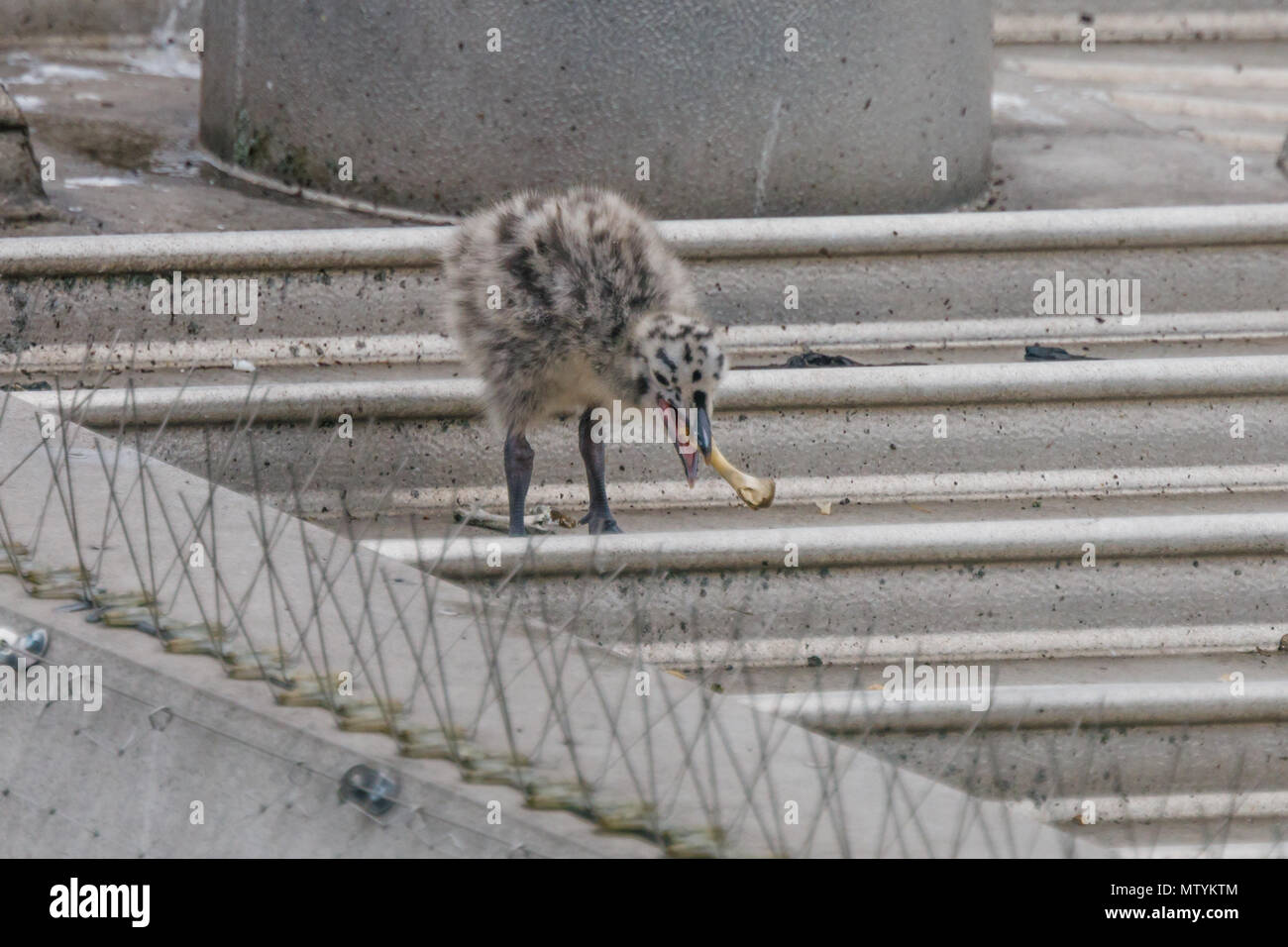 Forty Lane, Wembley Park, UK. 31st May 2018. Recently hatched Common Gull (Seagull) chick find a chicken bone for breakfast on urban supermarket roof.  1 of the 3 hungry Larus canus chicks heads out their nest in search of breakfast. Credit: amanda rose/Alamy Live News - Stock Image