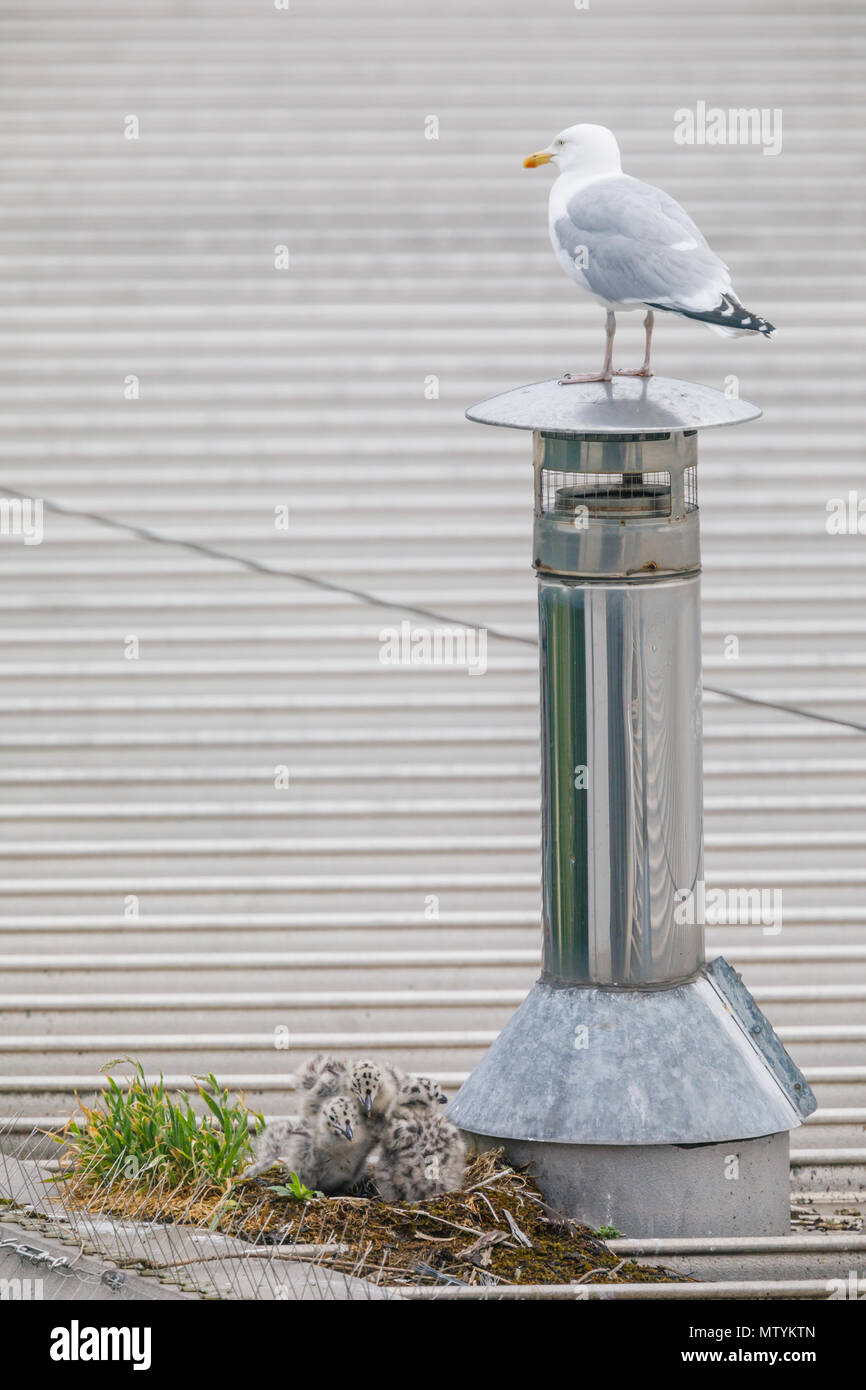 Forty Lane, Wembley Park, UK. 31st May 2018. Recently hatched Common Gull (Seagull) chicks on urban supermarket roof while a parent keeps a lookout nearby.  3 hungry Larus canus chicks head out their nest in search of breakfast. Credit: amanda rose/Alamy Live News - Stock Image