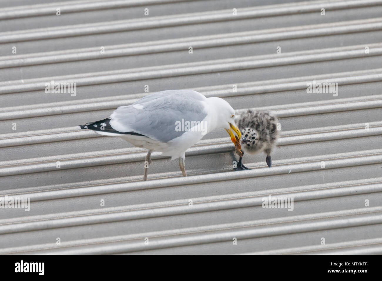 Forty Lane, Wembley Park, UK. 31st May 2018. Recently hatched Common Gull (Seagull) chicks on urban supermarket roof.   Credit: amanda rose/Alamy Live News - Stock Image