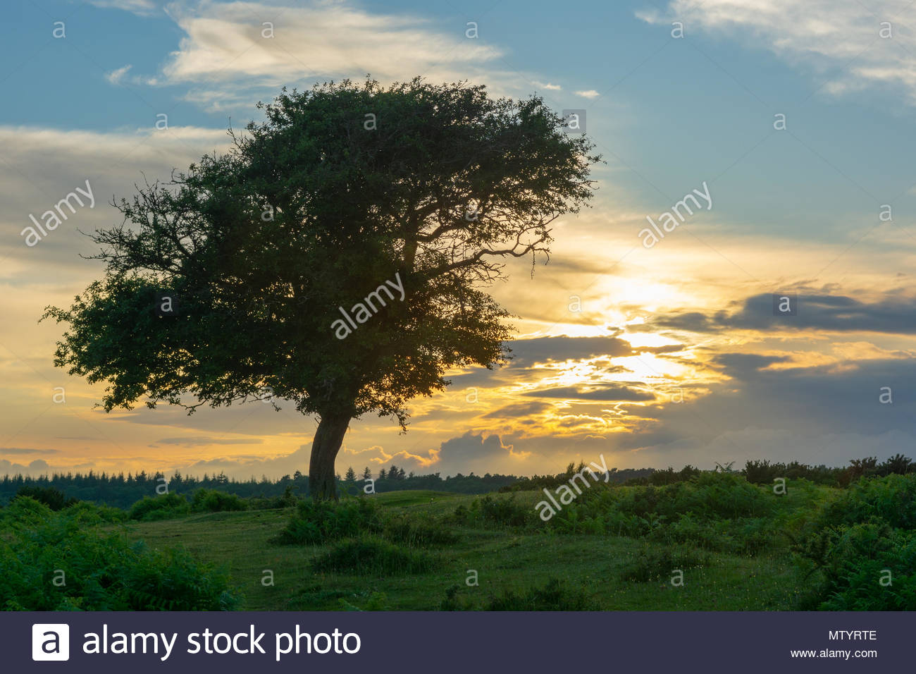 New Forest, Hampshire, England. Shower clouds and a golden sunset  behind a solitary tree which has been shaped by the prevailing wind. - Stock Image