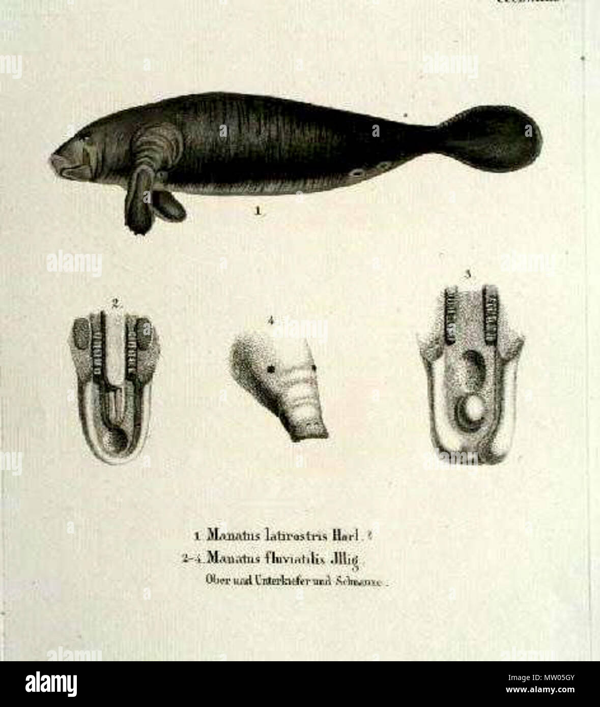 . Manatus latirostris Harl, Manatus fluviatilis Jllg. Fossilworks PaleoDB link: Manatus latirostris equals Trichechus manatus latirostris Note: Manatus fluviatilis ILLIGER, Abhandl. d. Kön. Akad. d. Wissens. in Berlin, 1809-1811, p. 110. This name, given without diagnosis, appears with M. americanus in a list of South American mammals and is a en:nomen nudum.[1] . Etching, time of origin: ca. 1835. Johann Andreas Fleischmann (1811-1878) 562 Sirenia latirostris and Sirenia fluvatilis Stock Photo