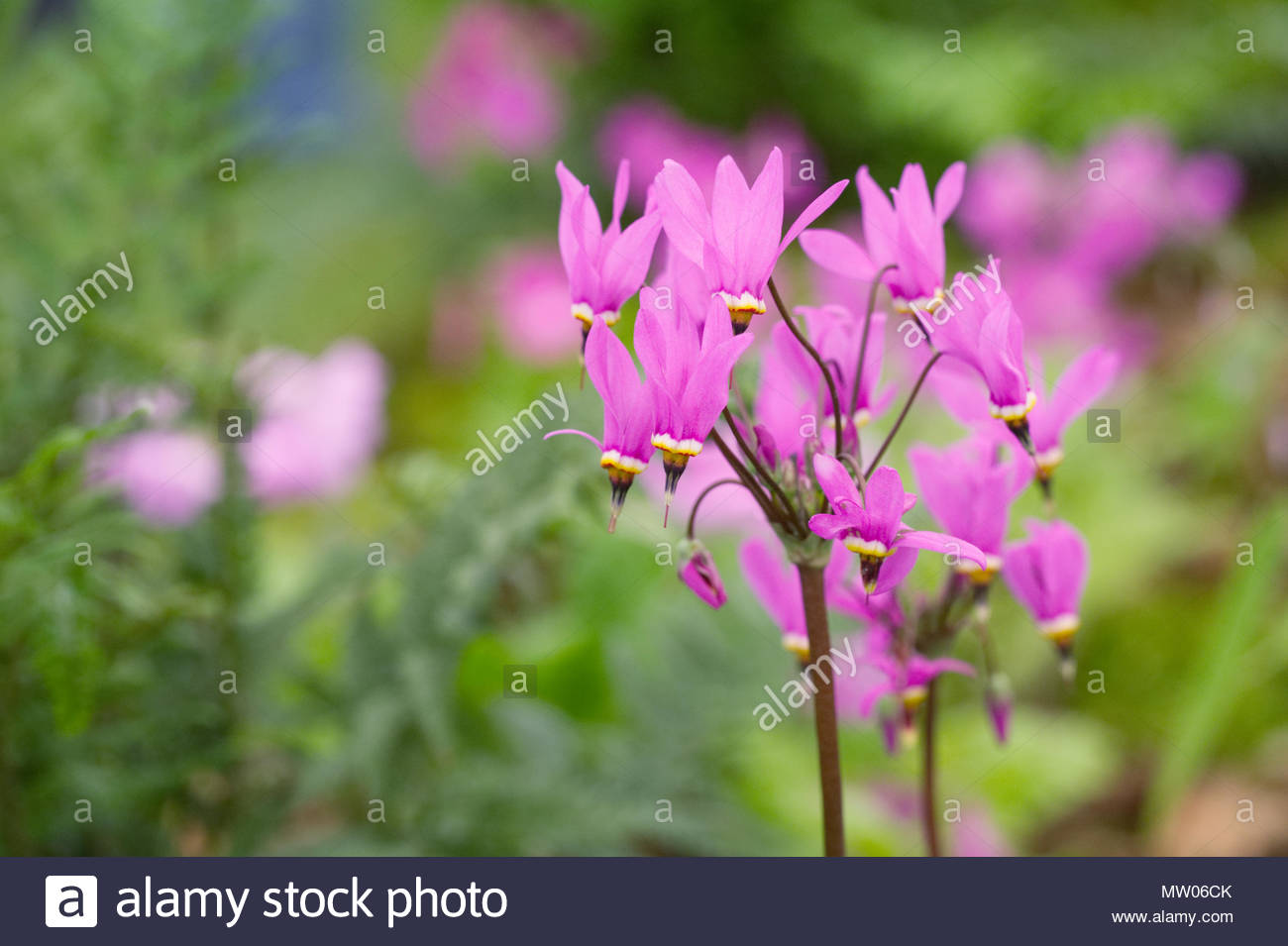 Dodecatheon meadia flowers. - Stock Image