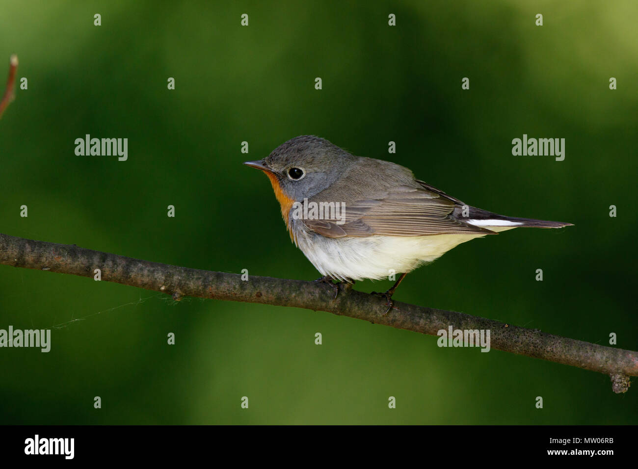 Red-breasted Flycatcher (Ficedula parva). male. Russia,  Moscow. - Stock Image