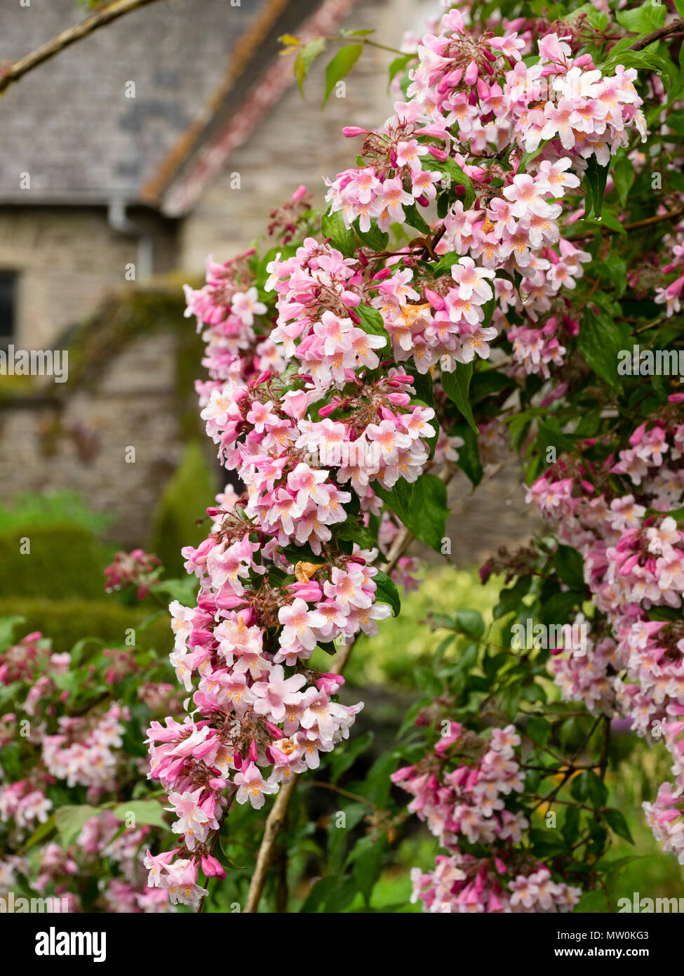 Arching growth weighed down by the pink flowers of the early summer arching growth weighed down by the pink flowers of the early summer blooming beauty bush kolkwitzia amabilis pink cloud mightylinksfo
