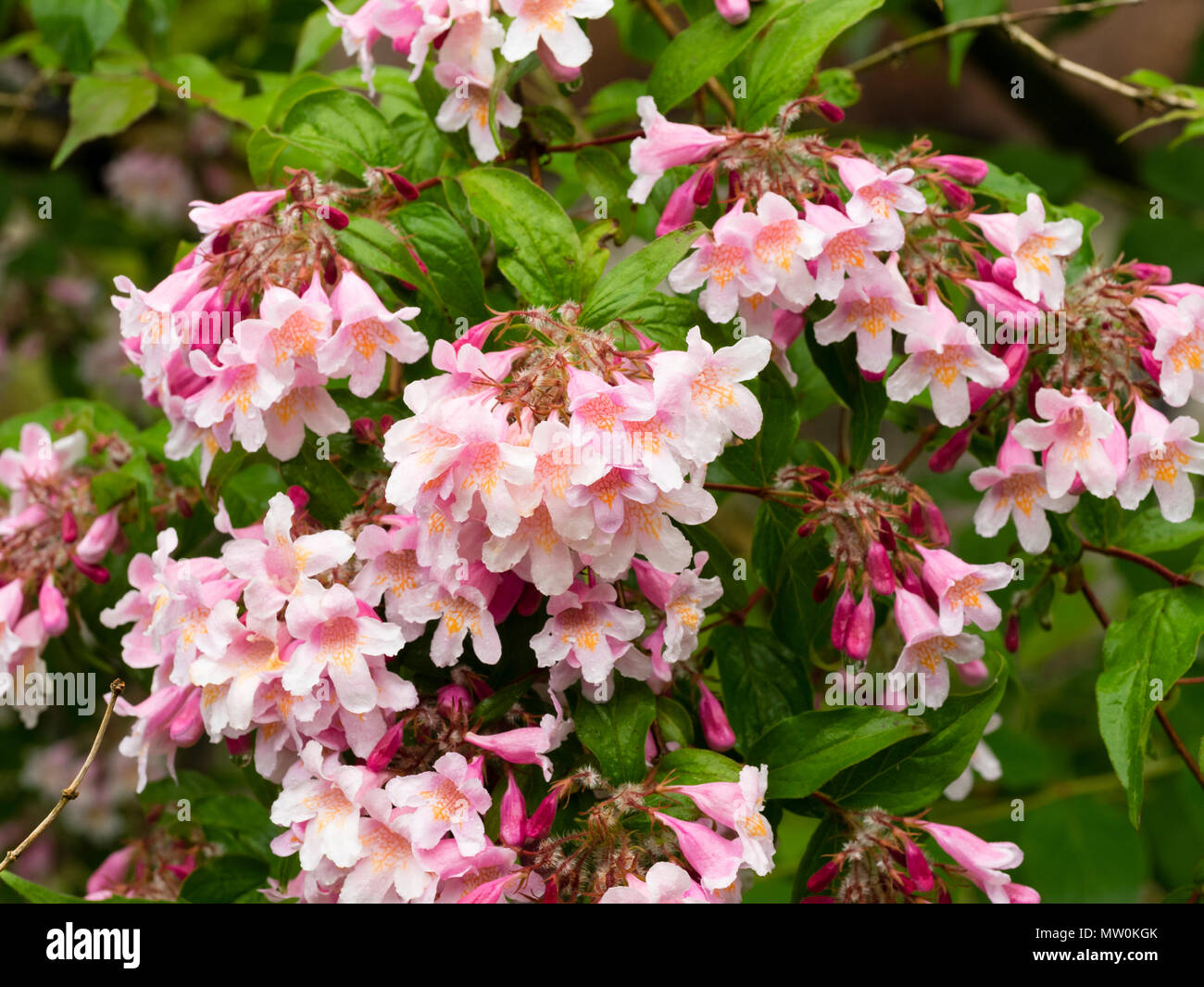 Close up of the pink flowers of the early summer blooming beauty close up of the pink flowers of the early summer blooming beauty bush kolkwitzia amabilis pink cloud mightylinksfo