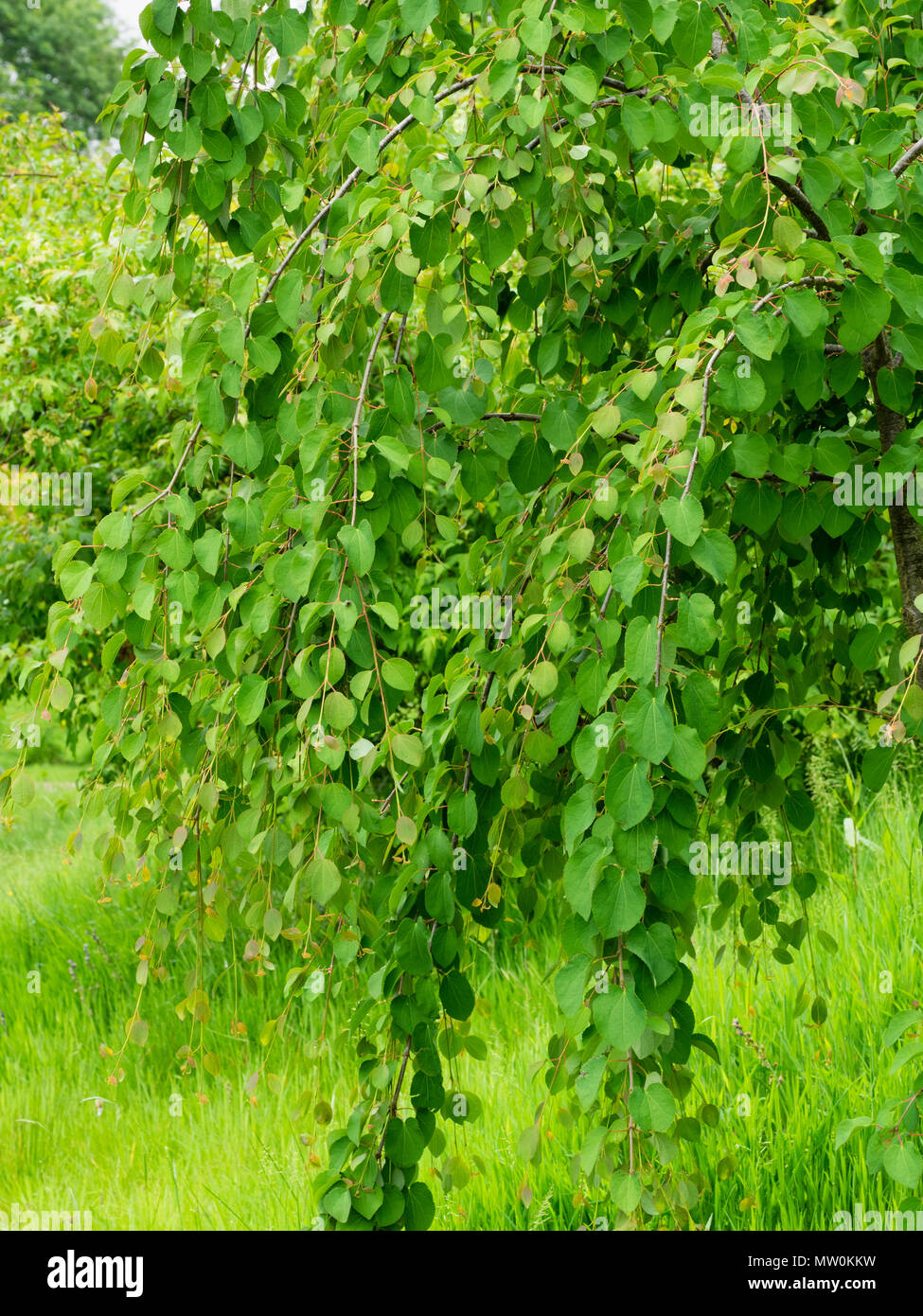 Young plant of the weeping form of the Katsura tree, Cercidiphyllum japonicum 'Amazing Grace' - Stock Image