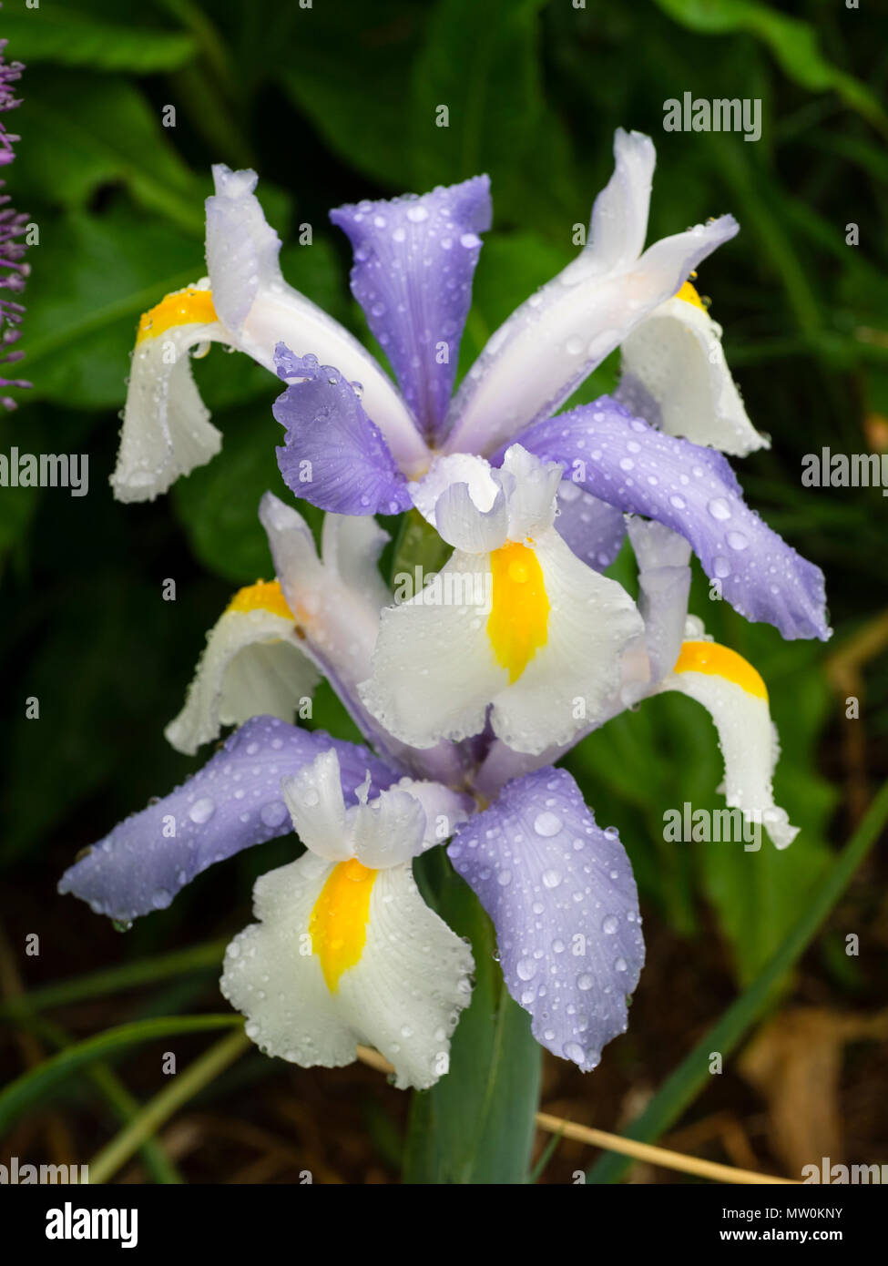 White falls and pale blue standards of the early summer flowering dutch iris, Iris x hollandica 'Silvery Beauty' - Stock Image