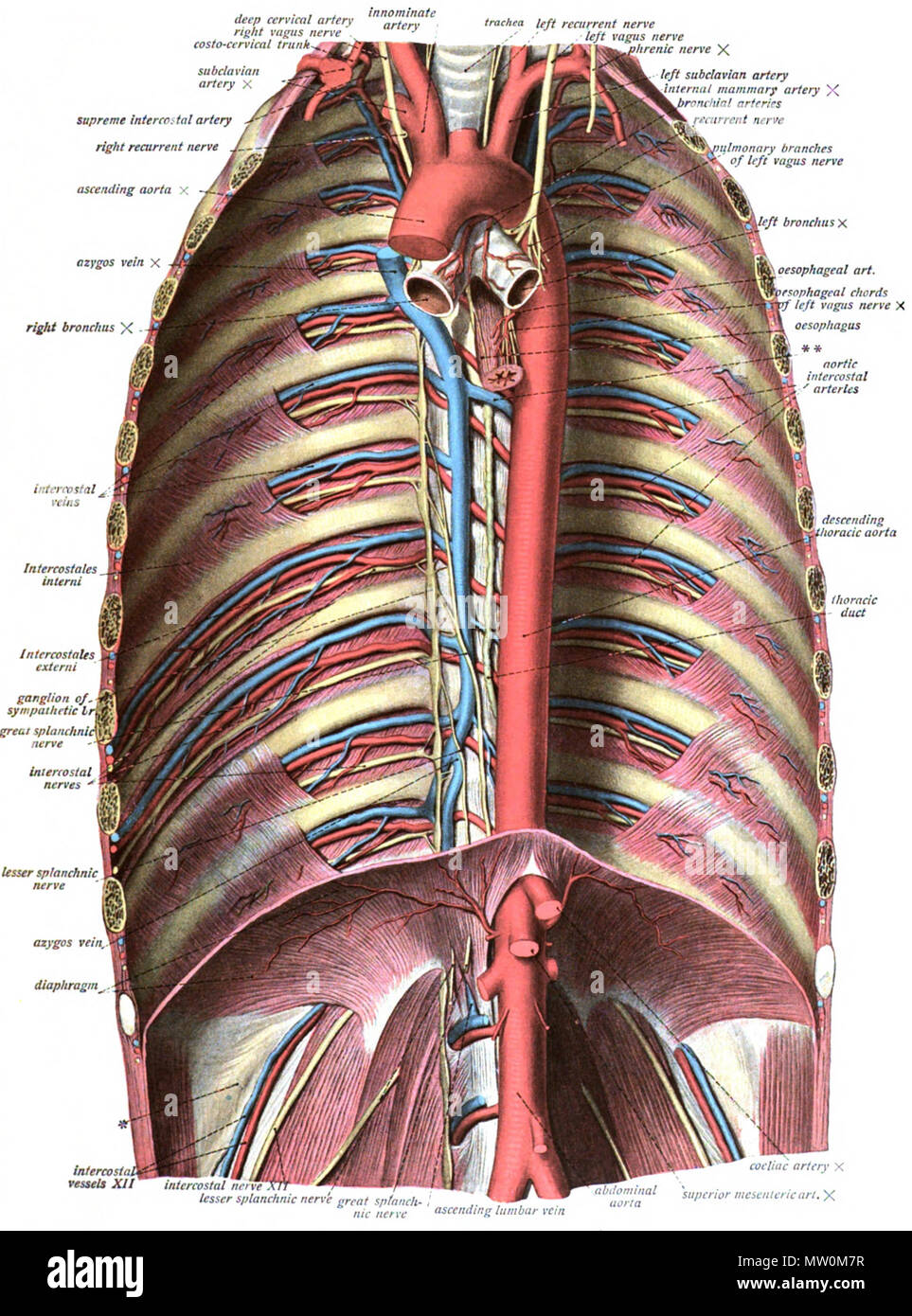 English: An anatomic illustration from the 1908 edition of Sobotta\'s ...