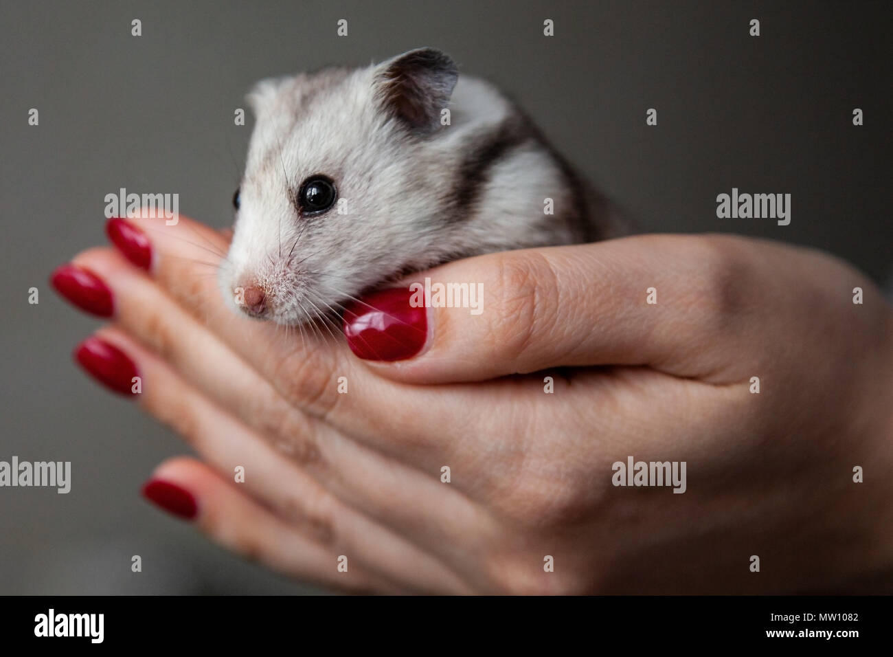 Cute hamster in the hands of a girl Stock Photo