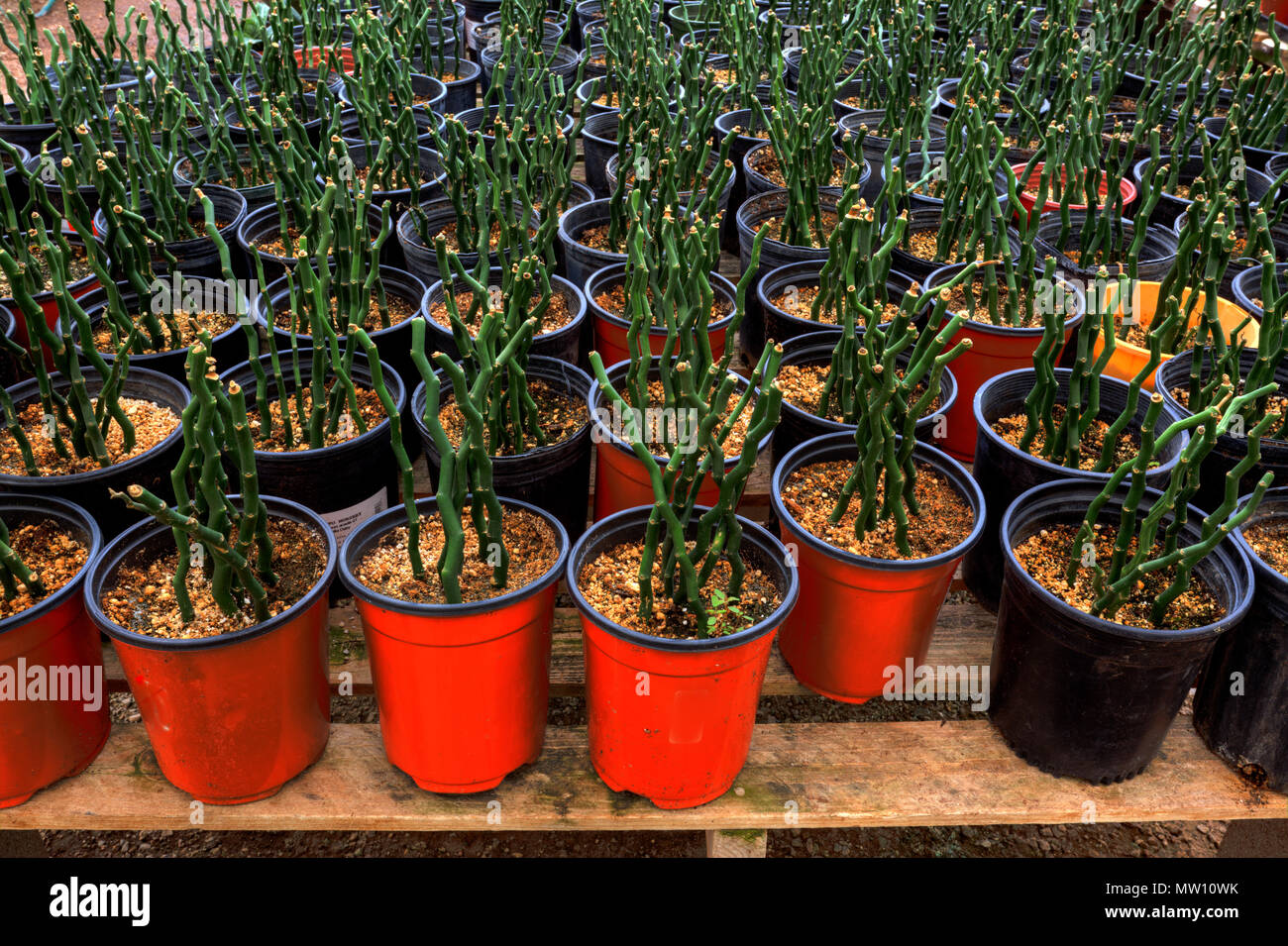 Bamboo Plants In Pots Stock Photo 187492751 Alamy