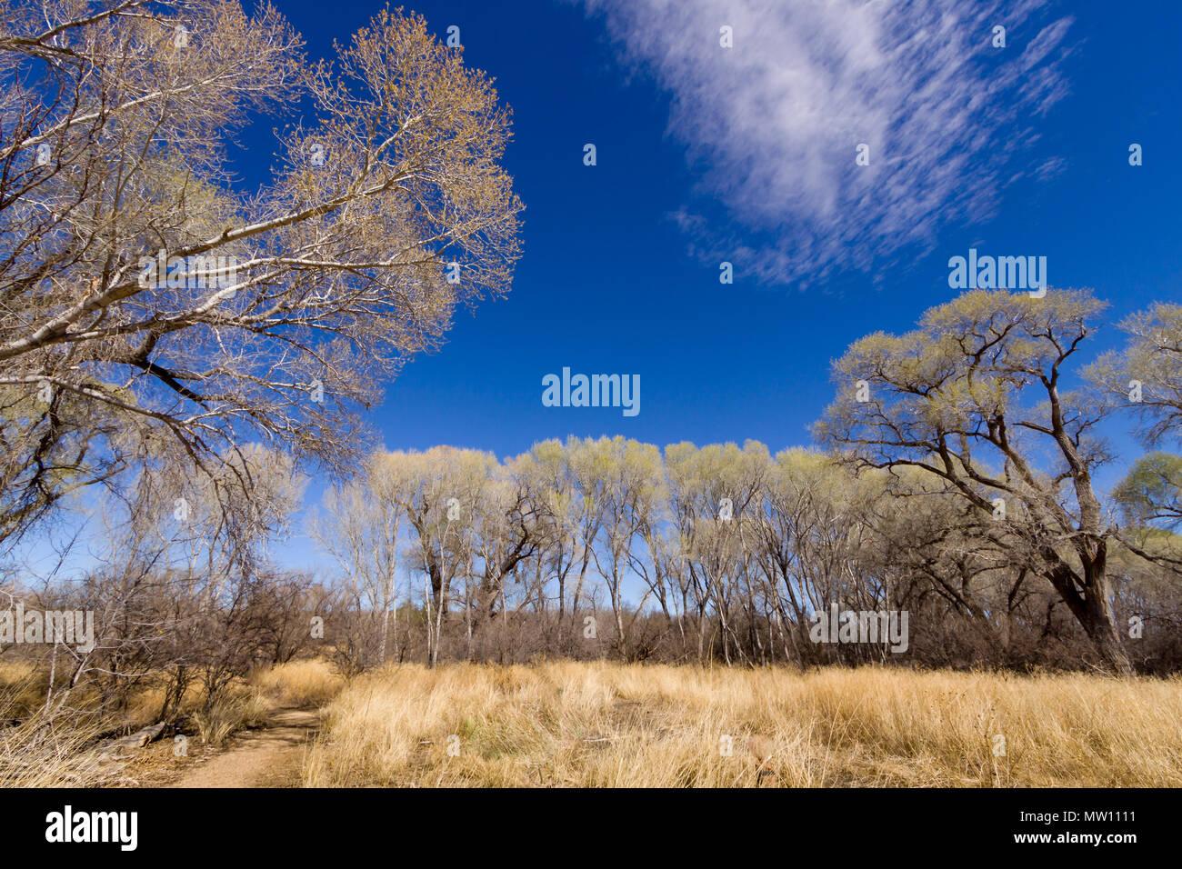 Desert Cottonwood Trees - Stock Image
