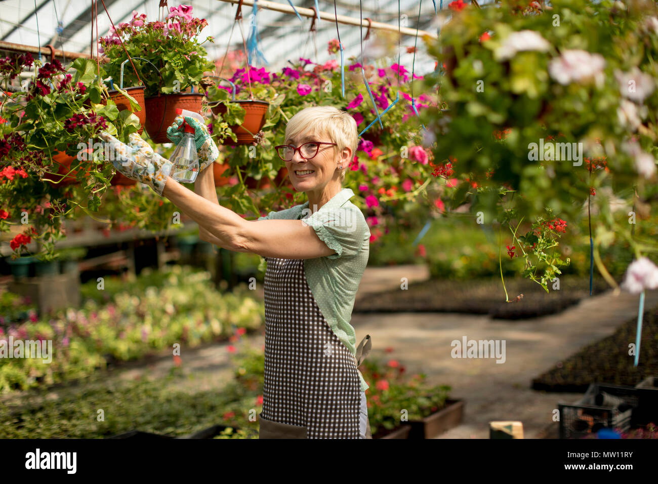 Portrait of  happy senior  florist woman standing and using sprayer in the large flower garden - Stock Image