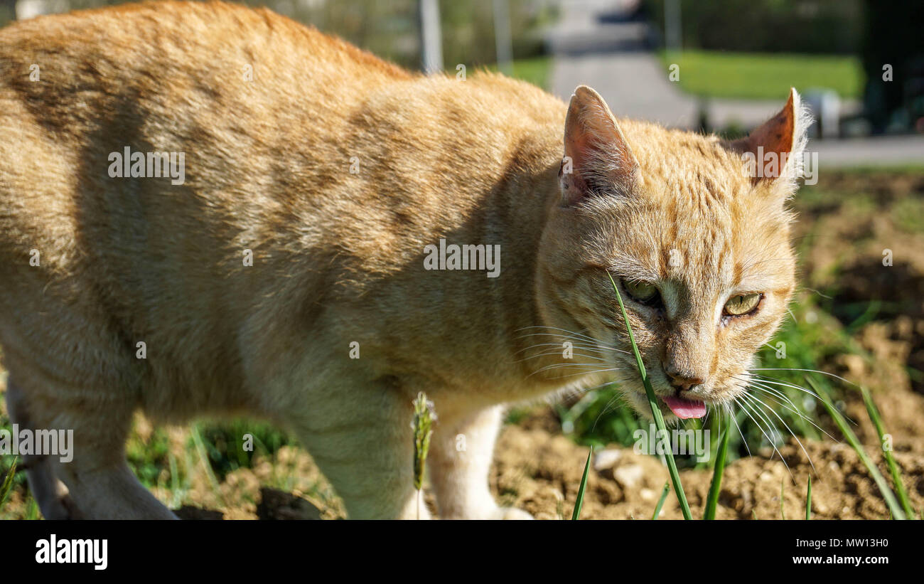 red cat looking into camera with tongue out - Stock Image