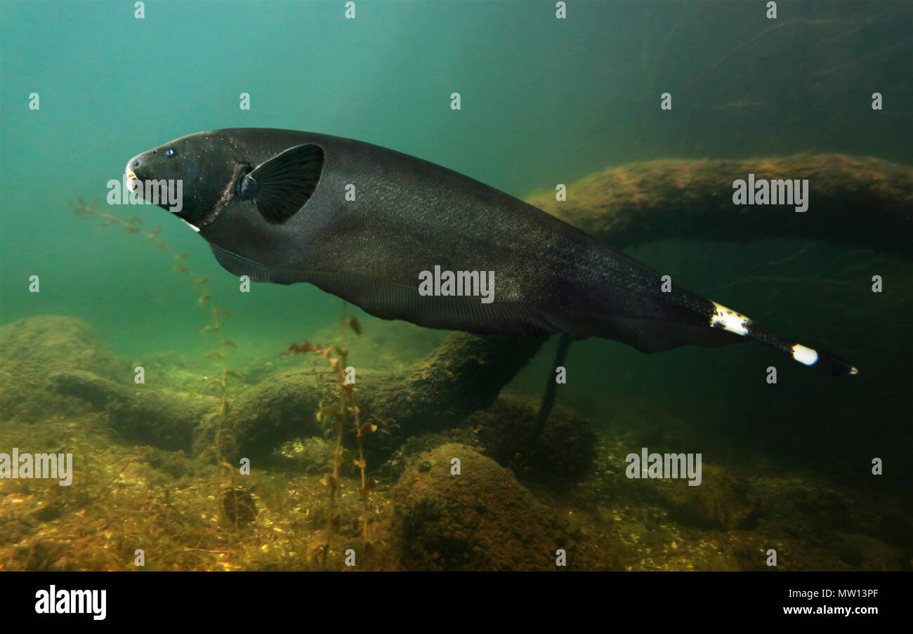 Black Ghost Knifefish Apteronotus Albifrons They Live On Freshwater Habitats In South America From Venezuela To Paraguay Including Stock Photo Alamy