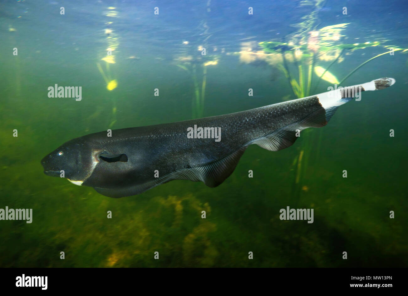 Black ghost knifefish, Apteronotus albifrons, swimming. They live on freshwater habitats in South America from Venezuela to Paraguay, including Amazon Stock Photo