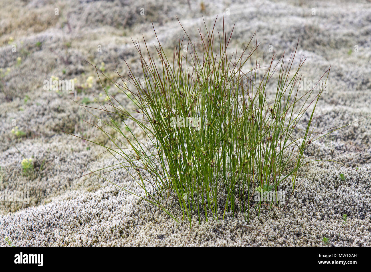 Grass tuft grows between Elongated Rock Moss (Racomitrium elongatum), Eldhraun lava field, near Kirkjubærklaustur - Stock Image