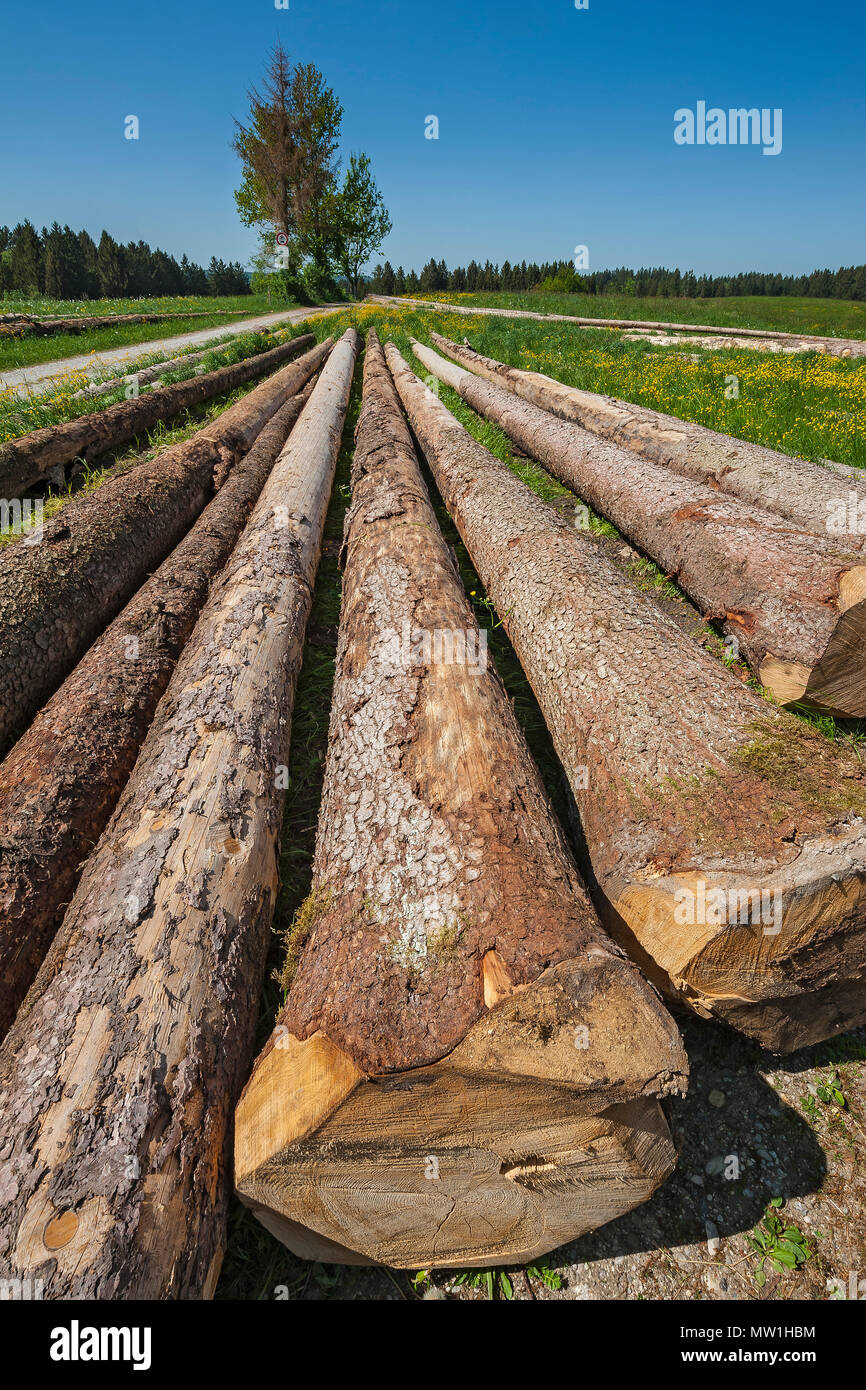 Felled spruces, tree trunks lie in spring meadow, Upper Bavaria, Bavaria, Germany - Stock Image