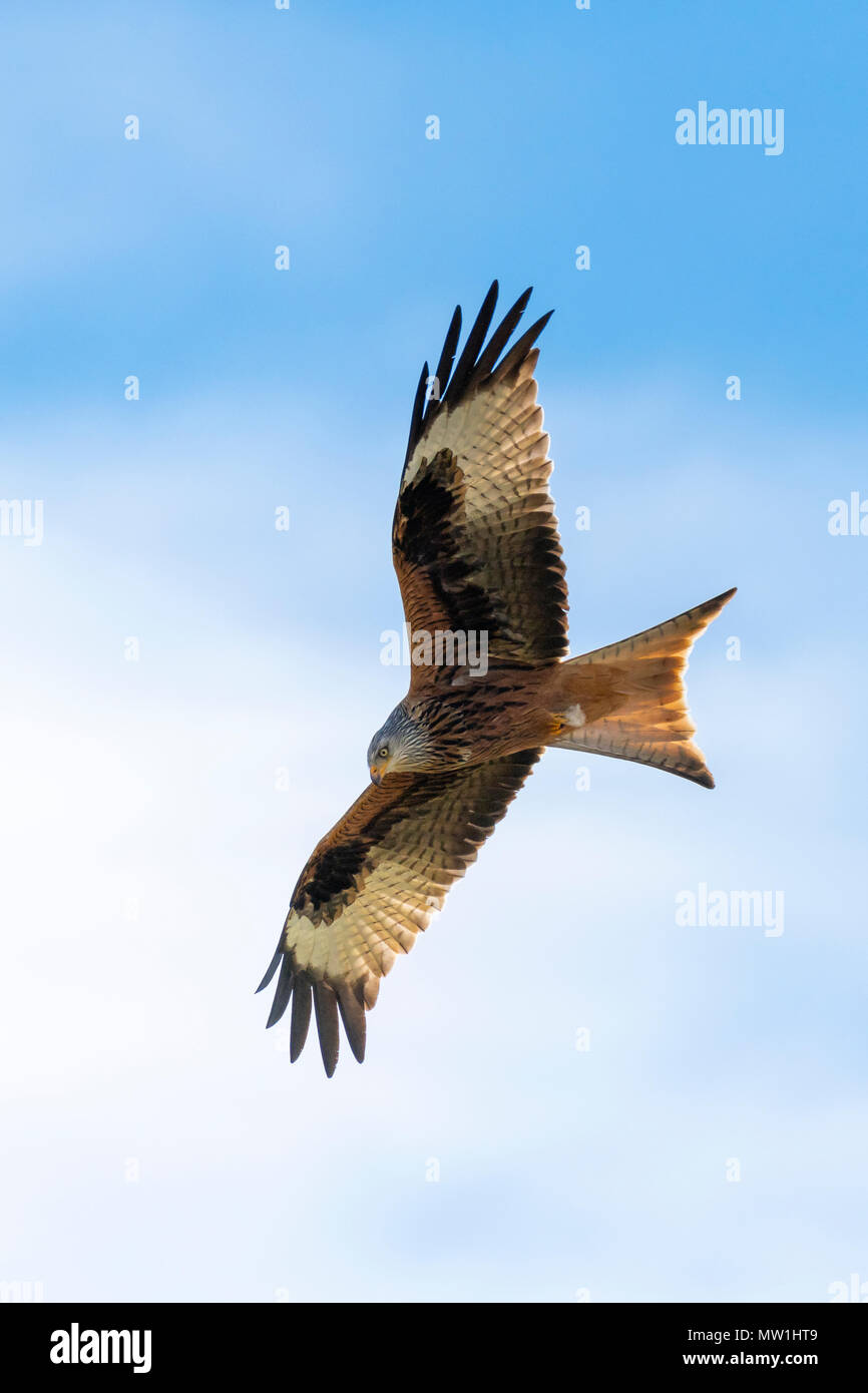 Red kite (Milvus milvus) in gliding flight, Baden-Württemberg, Germany - Stock Image