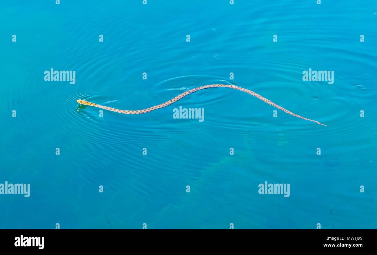 Dice Snake (Natrix tessellata), swimming in the lake, Lake Ohrid, Albania - Stock Image