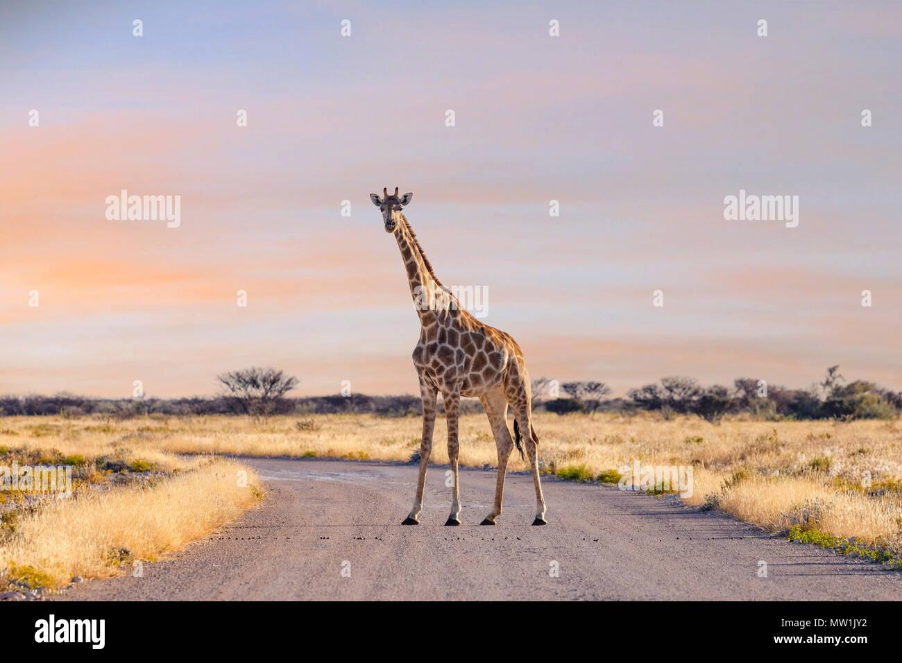 Etosha National Park, Namibia, Africa - Stock Image