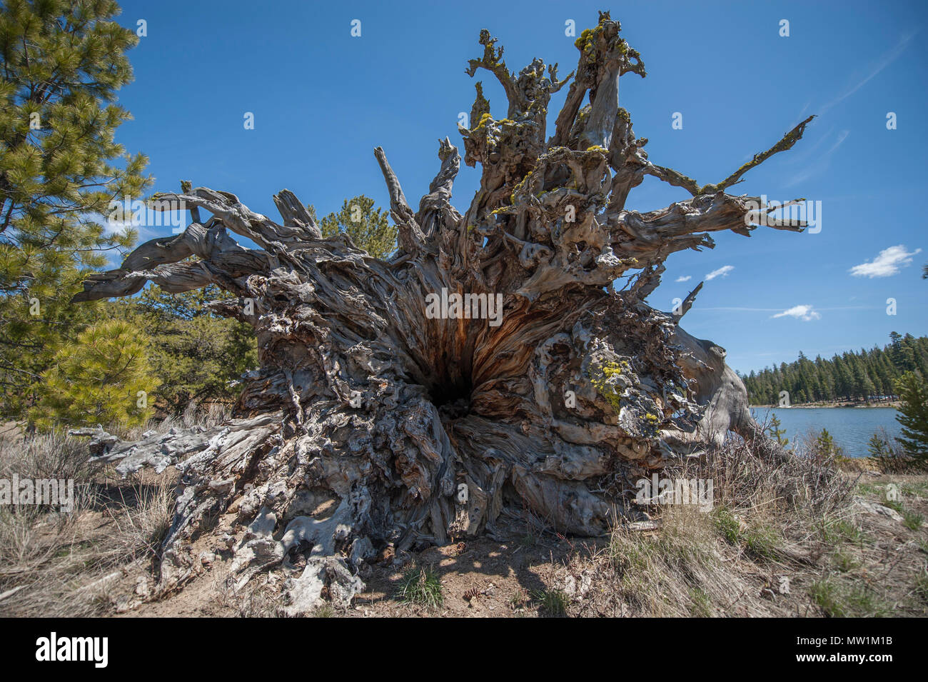 Looking up into the hollow trunk and root wad of a long-fallen gigantic Ponderosa Pine - Stock Image