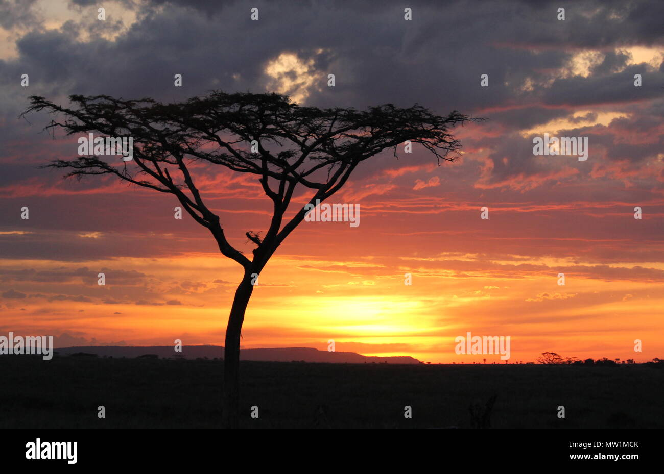 Shadows of trees in front of sunset on the African Savannah - Stock Image