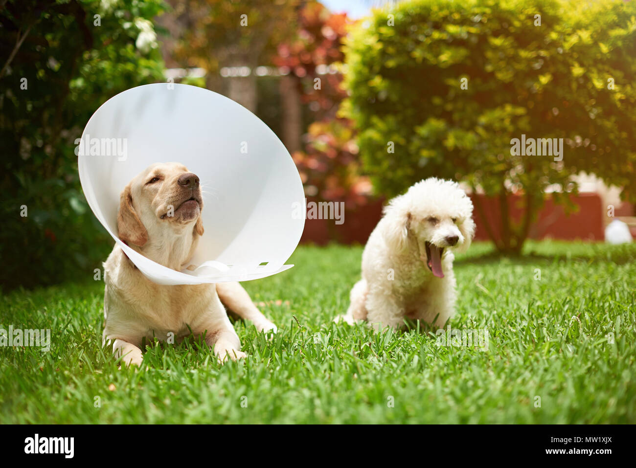Two sick dogs on grass after vet checking - Stock Image