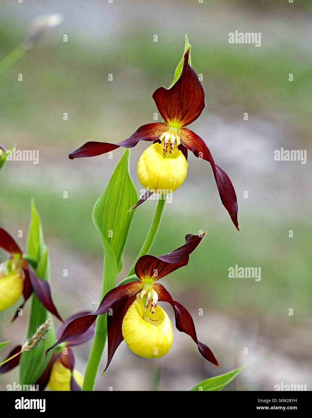 flowering Lady's Slipper Orchid (Cypripedium calceolus) at nature reserve in North of England following successful re-introduction project - Stock Image
