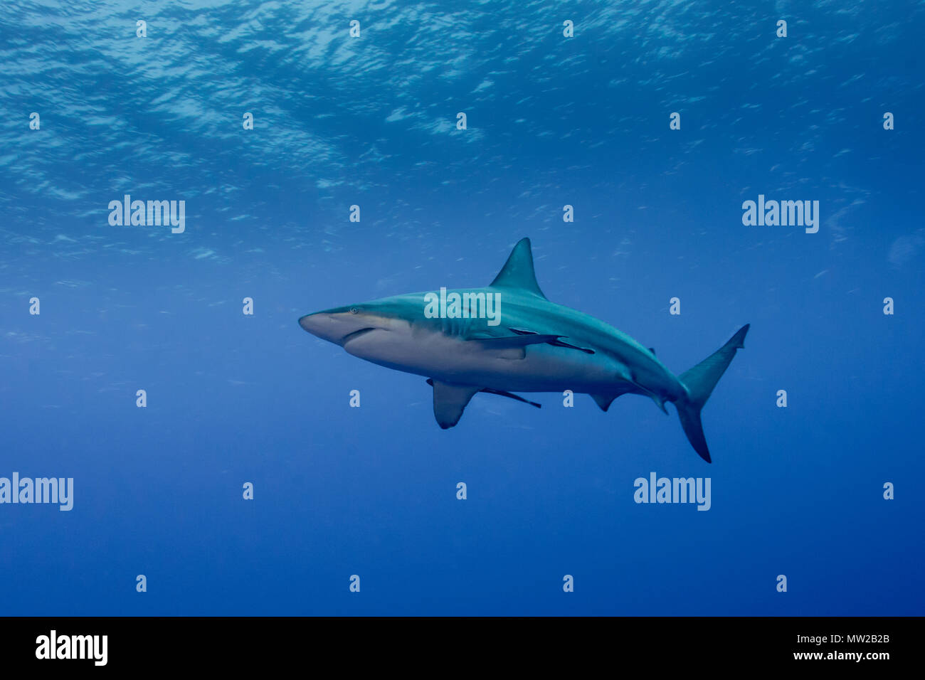 Oceanic Blacktip in Blue Stock Photo