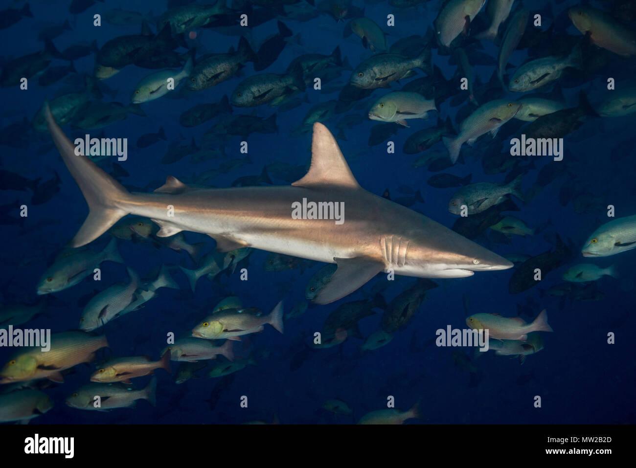 Oceanic Blacktip Shark Stock Photo