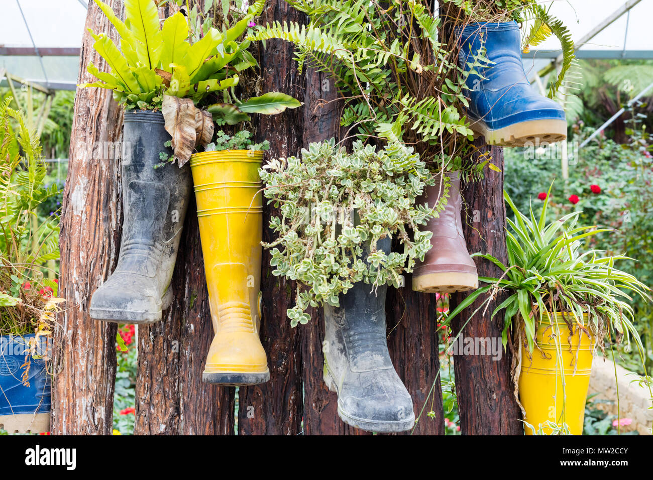 Rubber boots reused with plants hanging on the tree outdoor - Stock Image