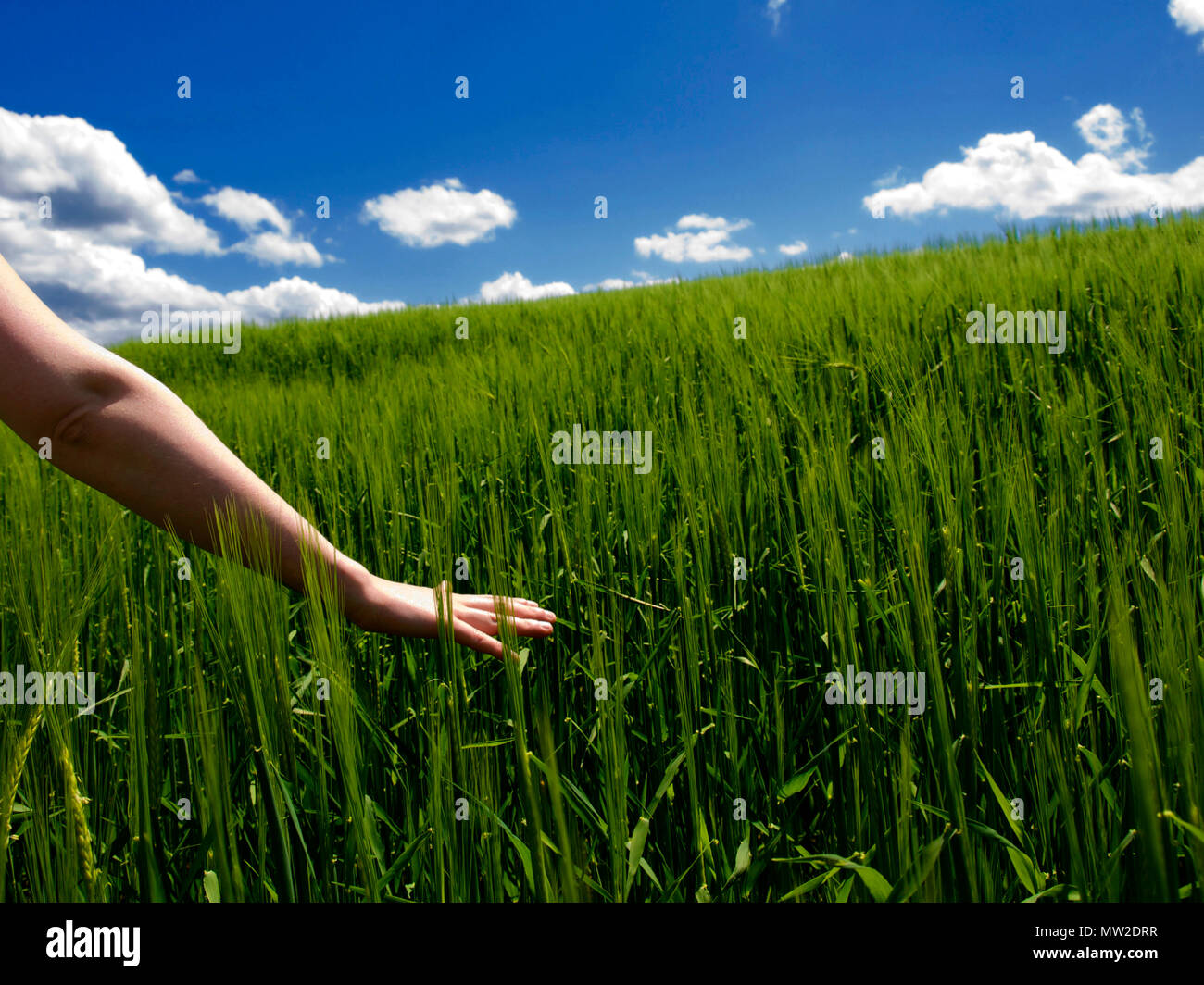 Young woman's hand touching ears of barley in a field. Auvergne. France - Stock Image