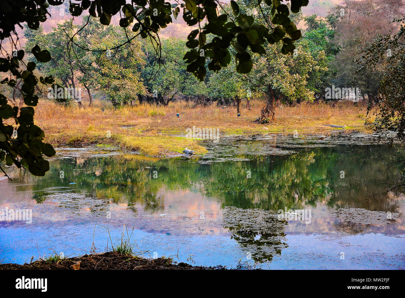 Beautiful wetlands landscape in Ranthambore National Park, India. Jungle, colourful trees reflected in lake, with crocodile at water's edge - Stock Image